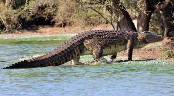 зашто крокодили плачу док једу