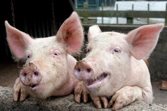 perché i musulmani non mangiano carne di maiale