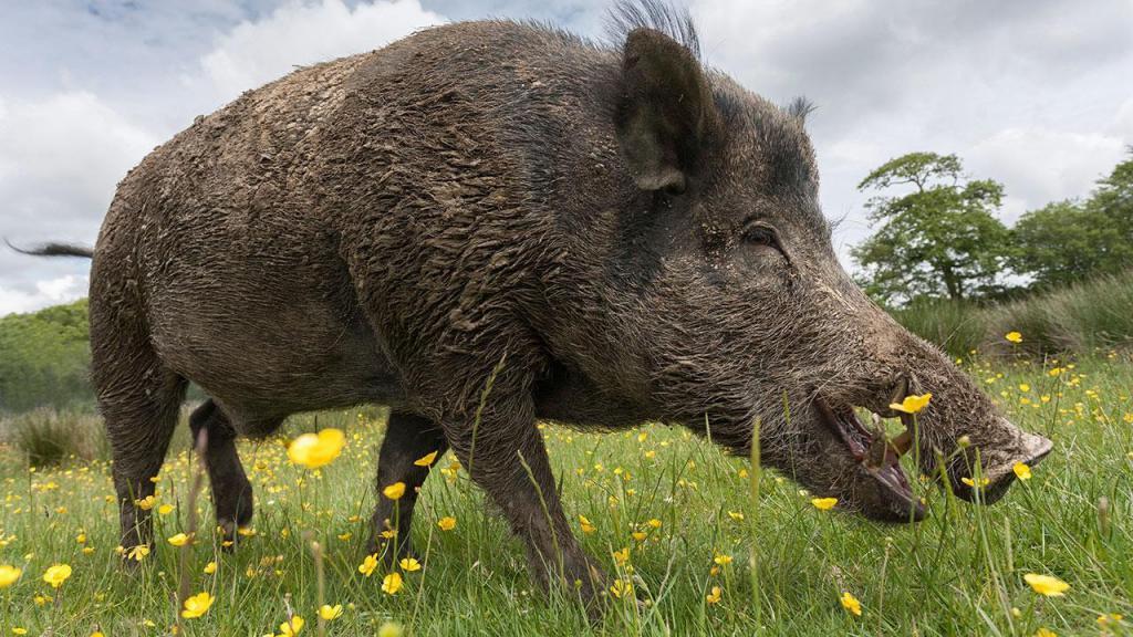 Zašto sanjati divlju svinju?