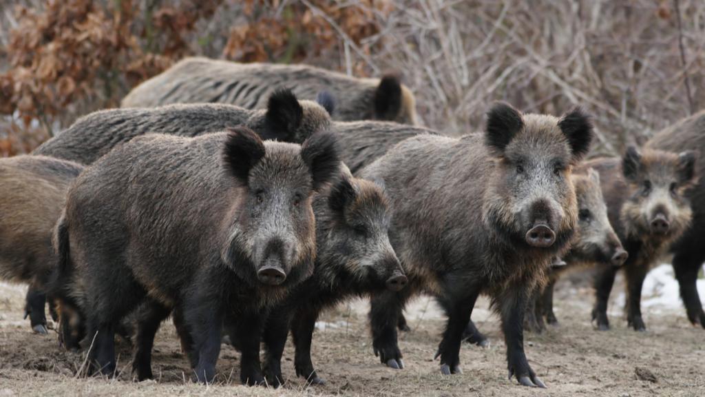 Zašto sanjati mnoge divlje svinje?