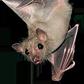 Che sogni di un pipistrello nero