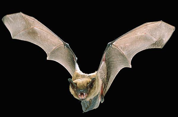 Che sogni di pipistrelli in casa