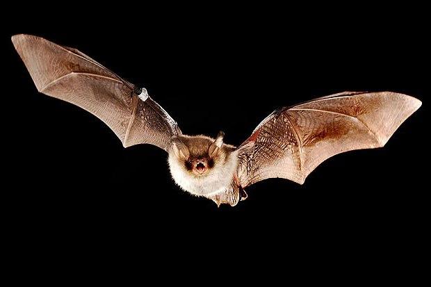Che sogni di un pipistrello bianco