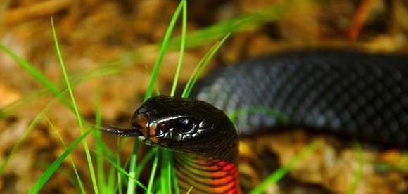 какво е мечтата на черна змия