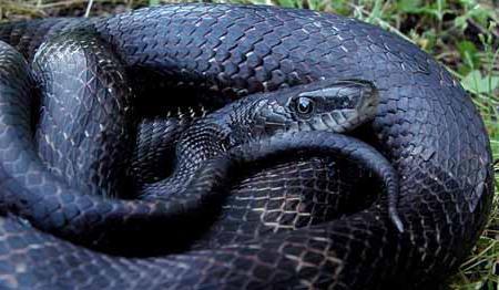 спя малко черна змия