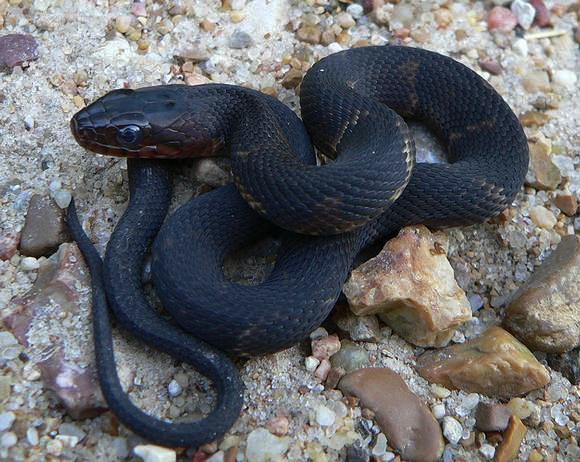 в съня беше ухапан от черна змия