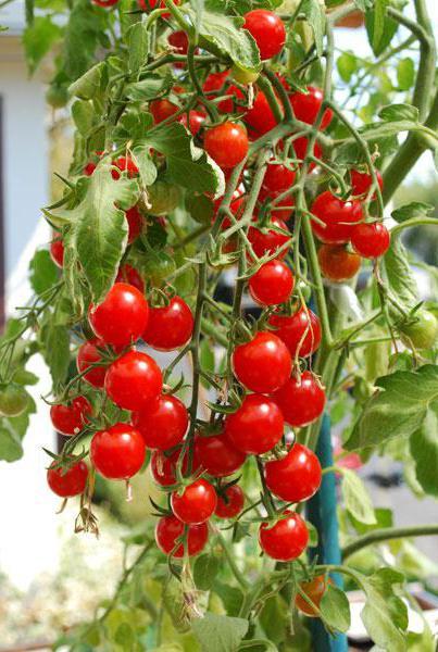 Защо доматите се свиват листа