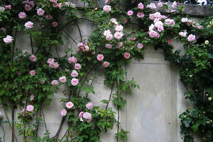 зашто не расте успонска ружа
