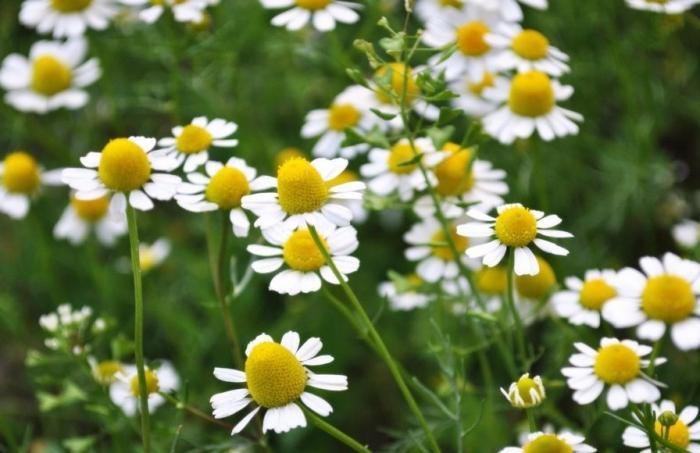 fiore di campo margherita