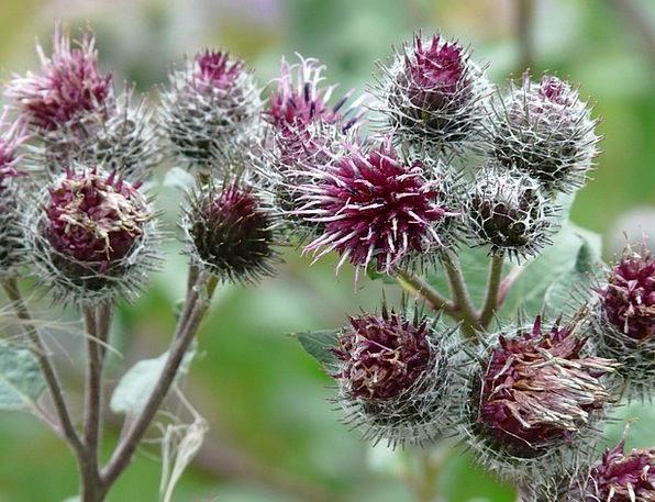Dzikie rośliny lecznicze