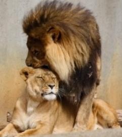 Kobieta lew w miłości
