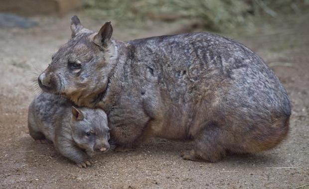 descrizione animale del wombat