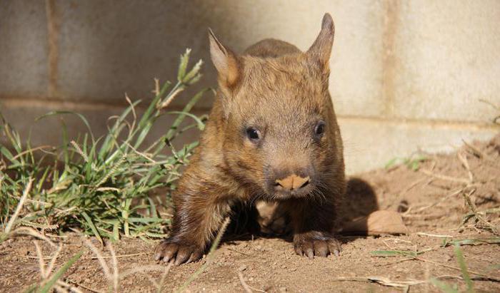wombat marsupiale